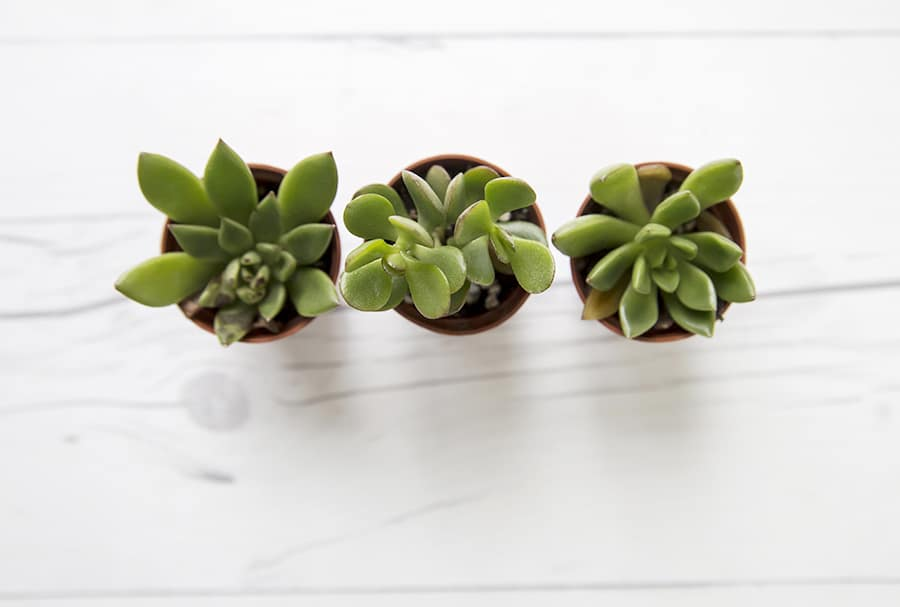 succulent-stock-photo